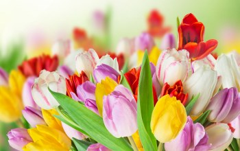 colorful,spring,tulips,цветы