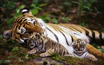 tigers,animals