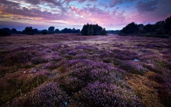 england,Purple,wortham,gb,landscape