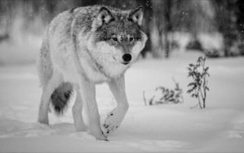 winter,wolf,animals
