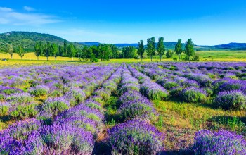 trees,field,lavender