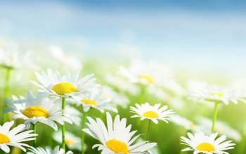 leaves,sky,grass,spring,White,freshness,beauty,Camomile