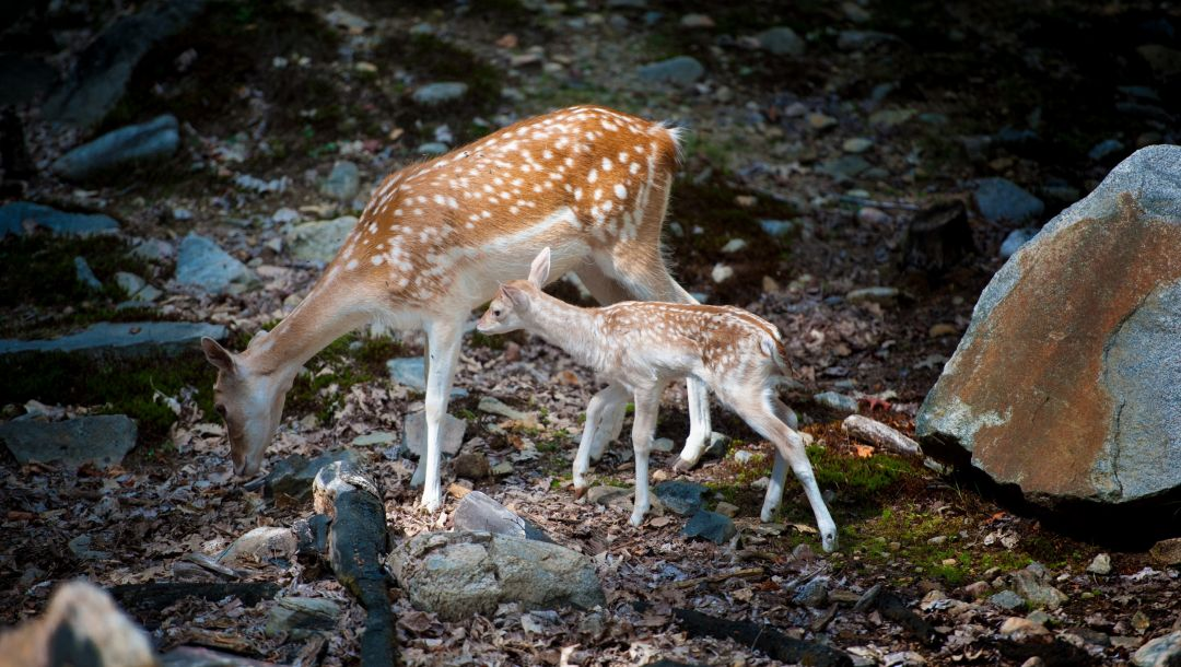Bambi with mom,косули