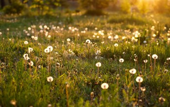 summer,sunlight,Dandelion