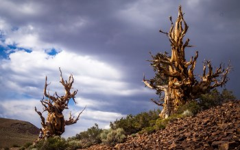 Bristlecone pines in the white mountains,california,inyo county