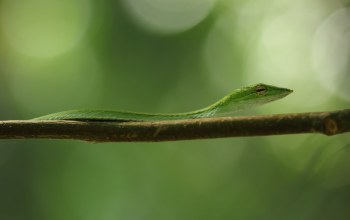 yellow, green,eye,vine snake,snake,branch