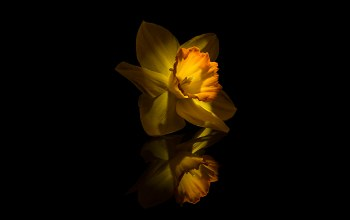 yellow,narcissus,flower