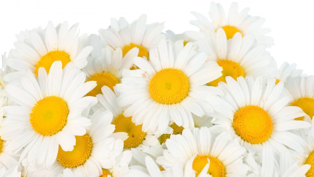beauty,White,цветы,freshness,Camomile,spring