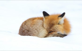 animals,Fox,winter