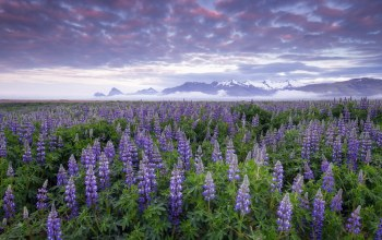 Lupines,iceland