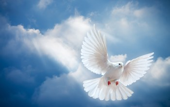 sunrays,peace,Белый голубь,sky,Dove,White,pigeon,мир