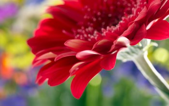 Beautiful red daisy gerbera,rose,close up,flower