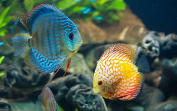 discus,fish,underwater,coral reef,ocean,beautiful,дискус