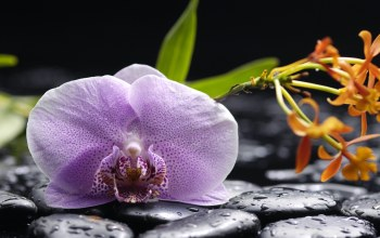 beauty,phalaenopsis,tenderness,black stones,water,petals,Orchid,drops,lilac