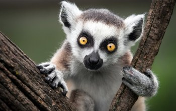 Ring-tailed lemur,обезьяна