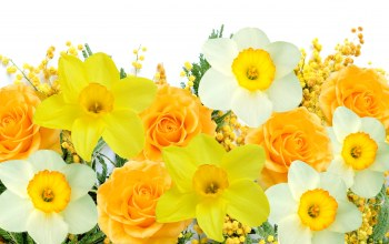 daffodils,цветы,White,мимоза,yellow,spring,delicate,mimosa
