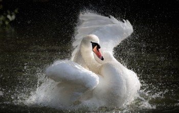 swan,splashing,the water,Вода,The lake,брызги,лебедь