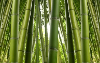 Bamboo,plant