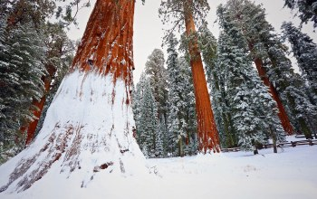 snow,Redwood,tree,winter,forest,sequoia