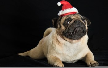black background,puppy,christmas,Santa