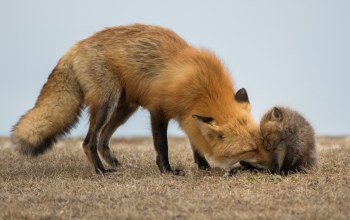 red fox,babies