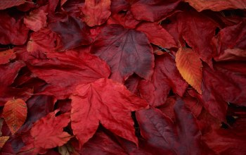 Red,maple,leaves