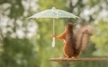squirrel,pose,Umbrellas,branch