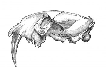 Skull,teeth,drawing