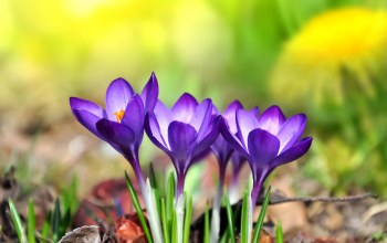 Purple,цветы,meadow,spring,crocus, крокусы