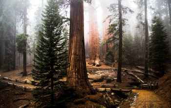 forest,tree,Redwood,sequoia