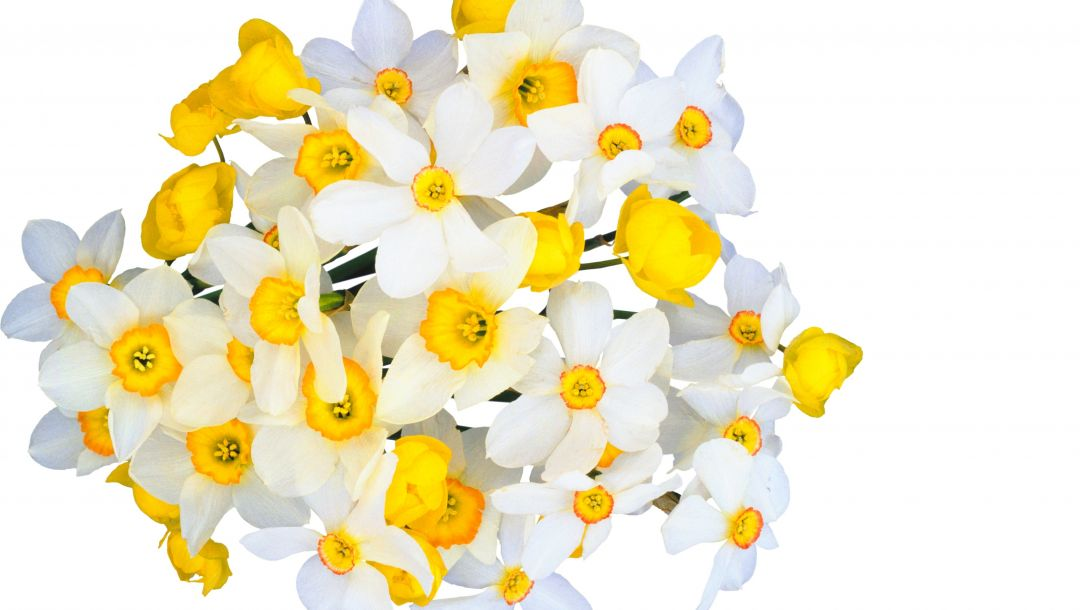 Bouquet,freshness,Tender spirit,White,narcissus,yellow,beauty,spring
