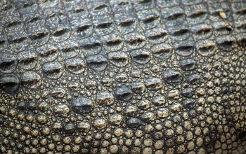texture,Крокодил,кожа,Leather,Crocodile