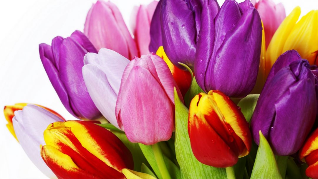 bright,petals,violet,White,varicoloured,Bouquet,beauty,Red,yellow,tulips