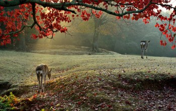 sika deer,morning,light