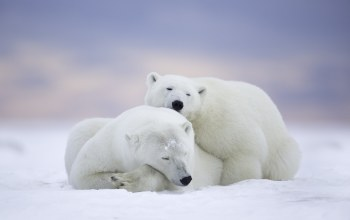 alaska,Arctic national wildlife refuge