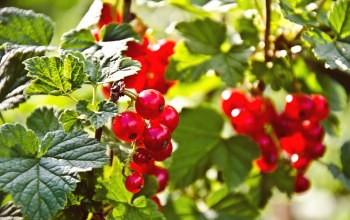 red currant,berries,красная смородина