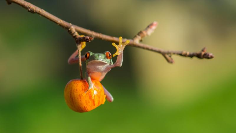 Лягушка,Red eye tree frog,яблоко