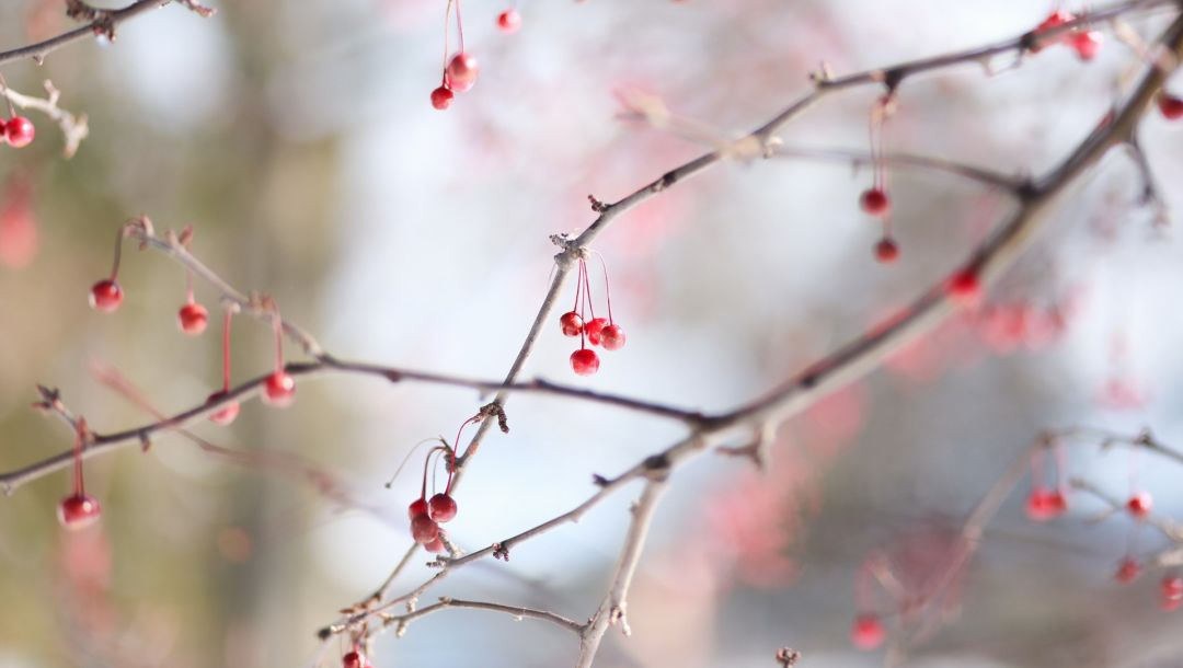 berry,winter,cold,Red