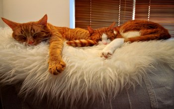 orange,sleeping,buddies,Cats,tabbies