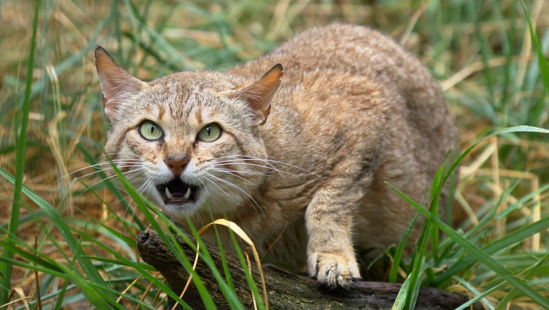 дикая кошка,Шотландская,морда,клыки,the scottish wildcat