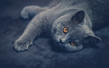 кот,British shorthair