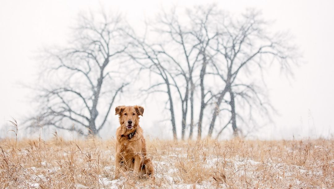 winter,snow,Golden retriever
