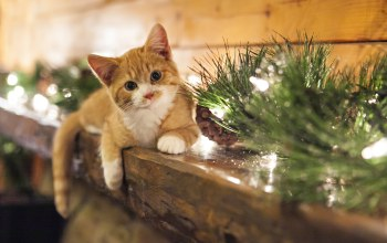 котёнок,cones,рождество,kitten,christmas,view,smile