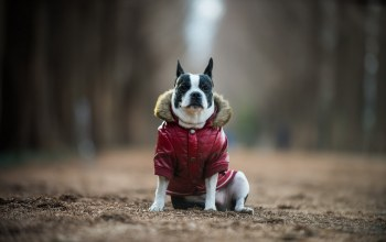 друг,boston terrier,Собака