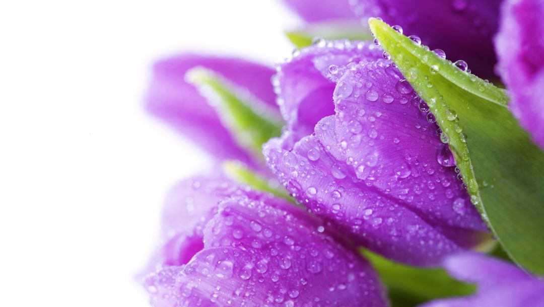 цветы,violet,tulips,beauty,drops,water,Bouquet,bright