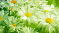 spring,freshness,leaves,Camomile,grass,flowers,beauty,White,green,blur,meadow