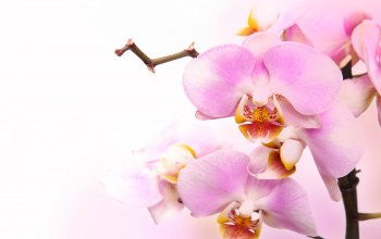 орхидея,branch,petals,tenderness,beauty,Orchid,phalaenopsis,цветы