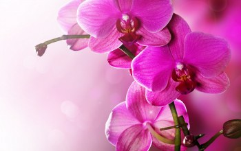 phalaenopsis,petals,цветы,Orchid,tenderness,орхидея,beauty