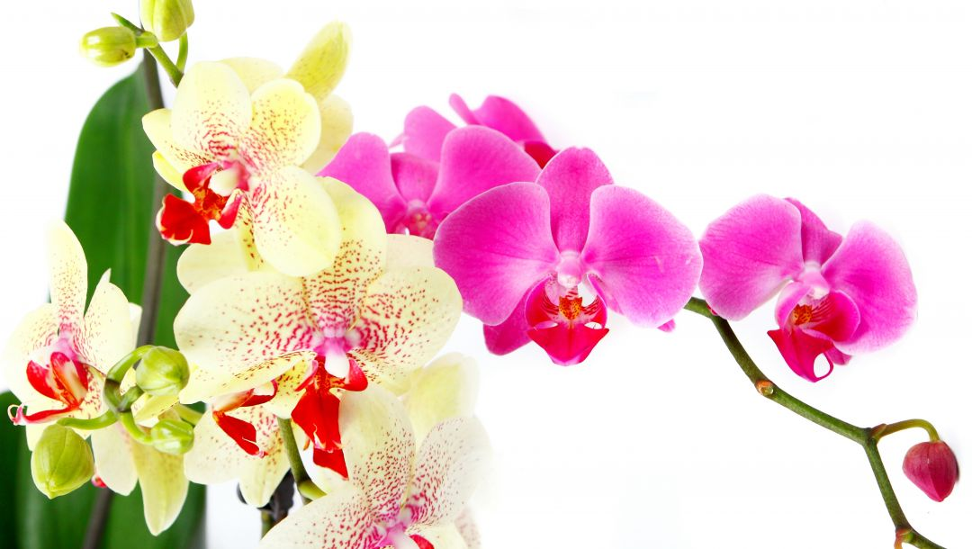beauty,цветы,White,petals,phalaenopsis,bright,Orchid,tenderness,branch