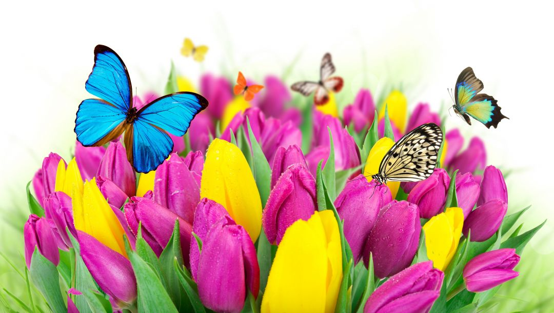 tulips,colorful,цветы,yellow,beautiful,spring,butterflies,Purple